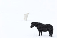 Icelandic horses in a snowstorm