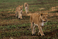 Lions hunting at Savute Game Reserve
