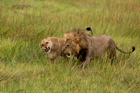 lions mating 4