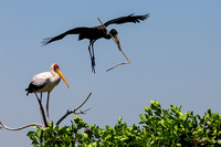 Open and Yellow Billed Storks