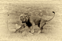 lions mating (AP2)