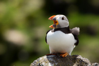 puffin with mouth open