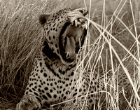 Leopard at Okonjima 3