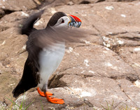 puffin taking off 2