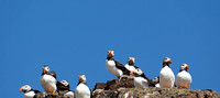 panorama of puffins