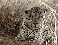 Leopard at Okonjima 1