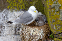 kittiwake mother and baby 3