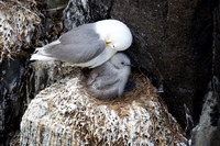 kittiwake mother and baby 2