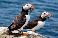 staple island pair of puffins 3